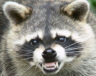 a-raccoon-bites-off-his-penis.jpg
